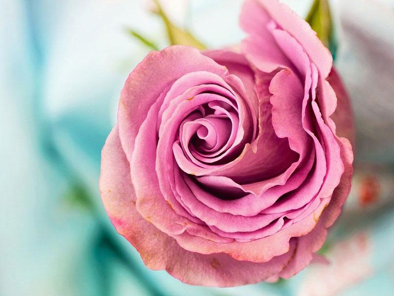 Les chemins de la rose, Doue